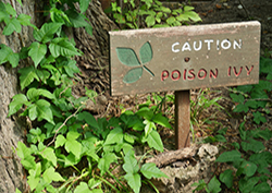 Wooden sign warning of poison ivy in a wooded area; poison oak and sumac will cause a similar rash
